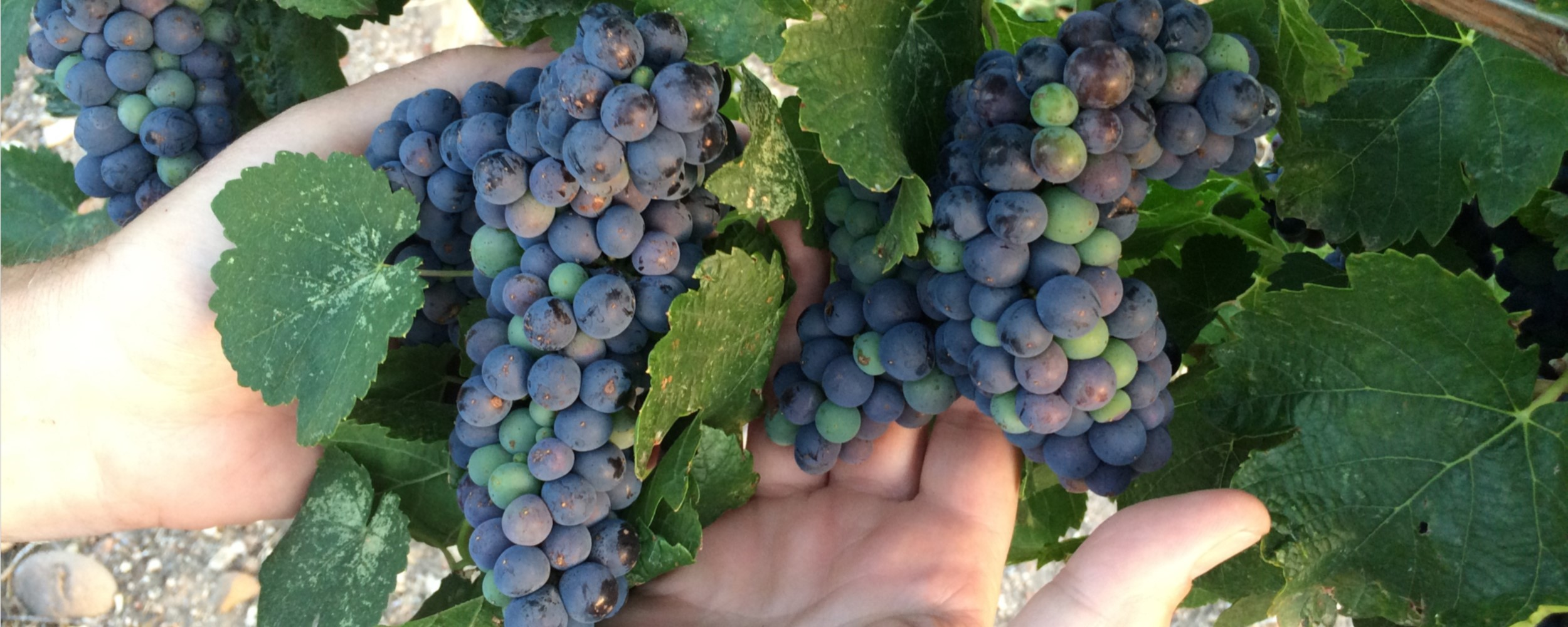 Home - Grapes_Hands - 2500x1000