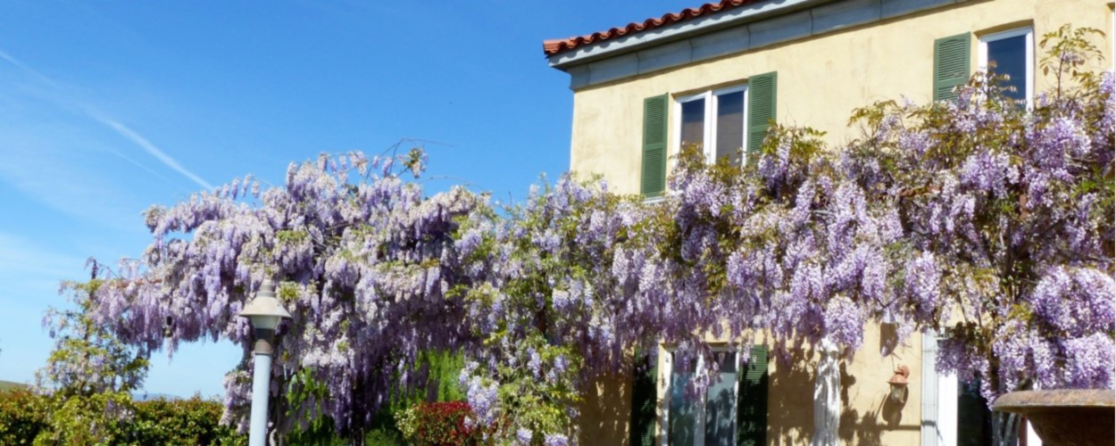 Home - Wisteria in Bloom - 1250x500